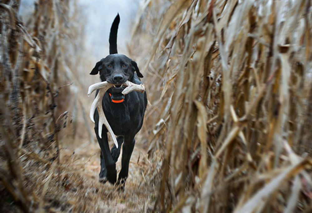 Train Your Bird Dog How To Find Sheds Dog Training Dog Antlers