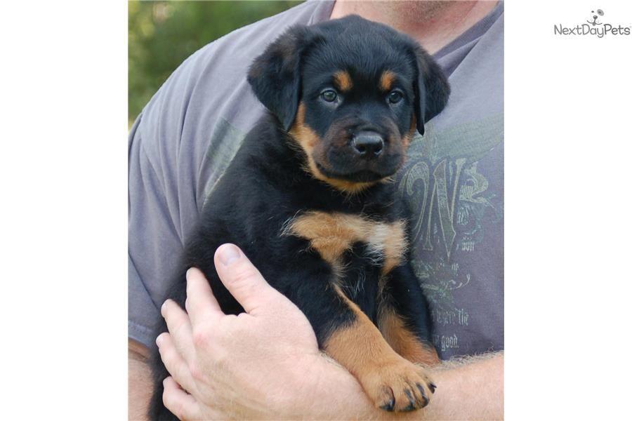 Meet Diesel A Cute Rottweiler Puppy For Sale For 1 000 Ready Now Akc Male Rott 417 733 4818 Rottweiler Puppies Puppies Rottweiler