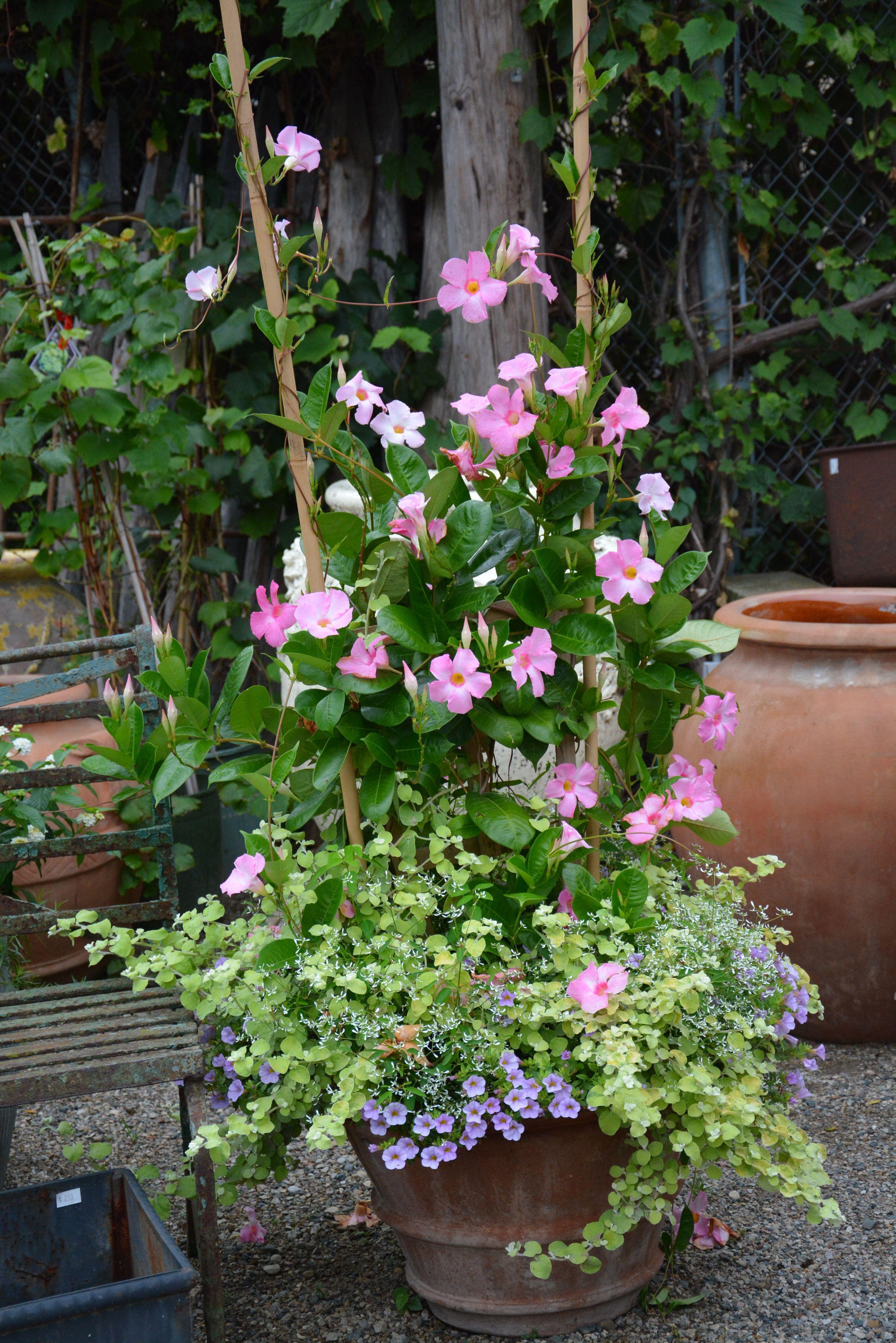Pink Mandevillea Licorice Million Bells Gartencontainer Topf Und Kubelpflanzen Kubelpflanzen