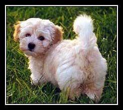Bichon Habanero Toy Dog Breeds Havanese Puppies Hypoallergenic Dog Breed