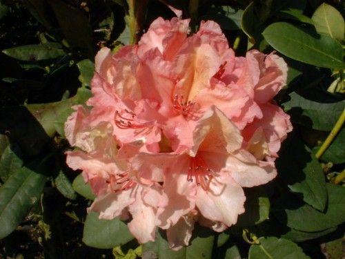 die besten 25 rhododendron kaufen ideen auf pinterest. Black Bedroom Furniture Sets. Home Design Ideas