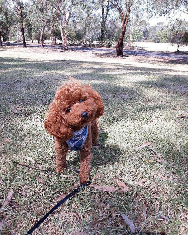 Lagotto Romagnolo Dogs Pinterest Spanischer Wasserhund