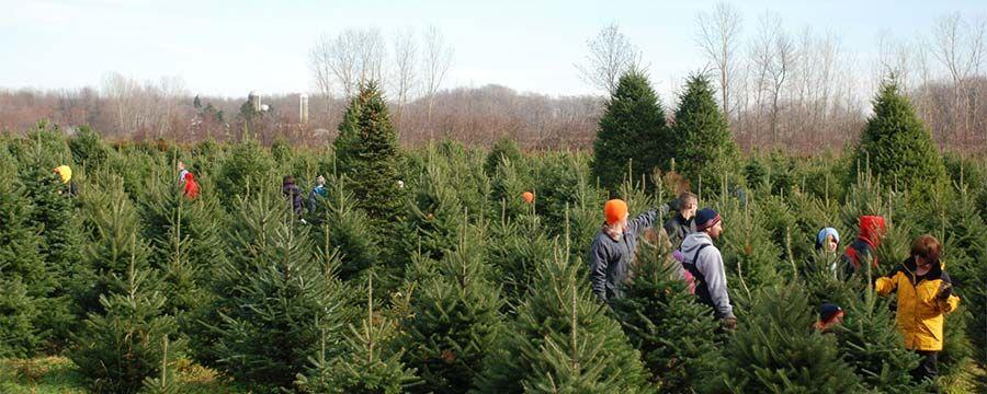 Erway S Christmas Tree Adventure Wilson Ny Niagara County Niagara County Tree Tree Farms