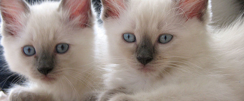ragdoll kittens for sale san diego Cat breeds