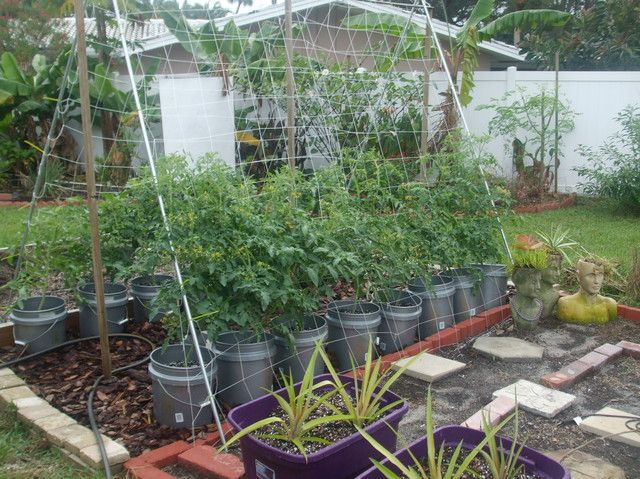 A Frame Trellis Working Out So Well For Tomatoes Florida Gardening Forum