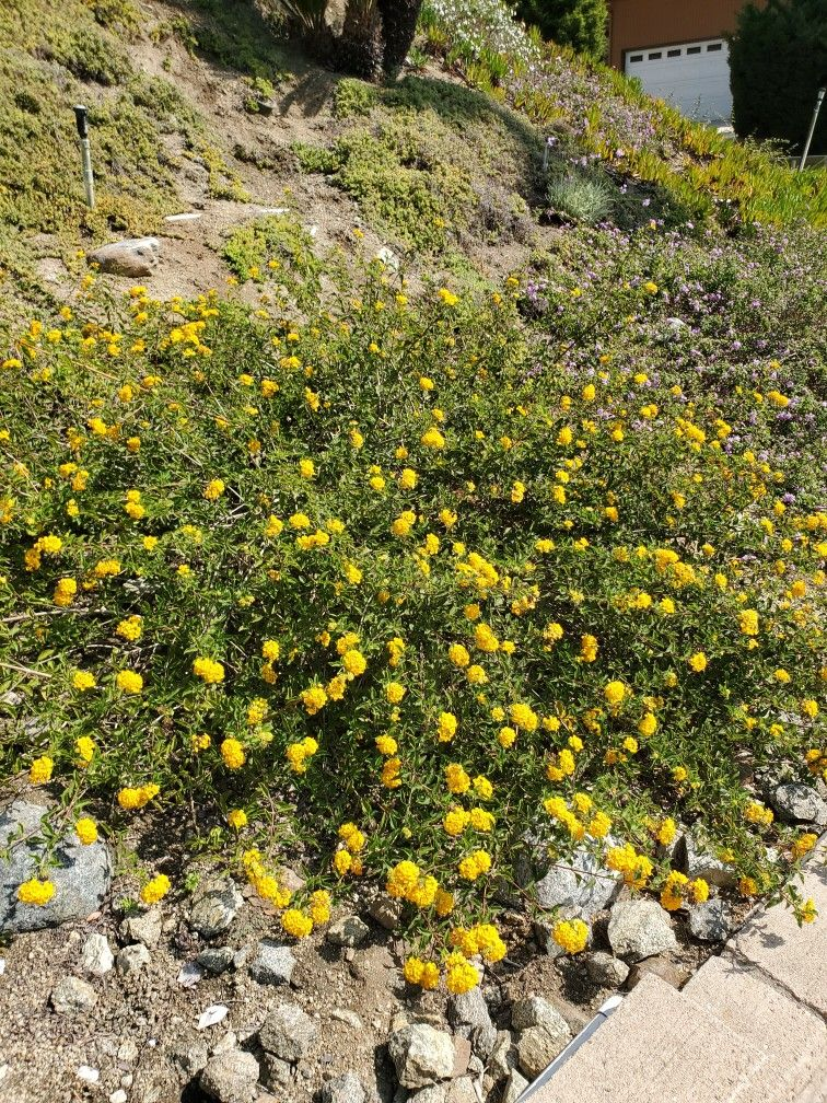 Golden Lantana Flowering Lantana Drought Tolerant Plants Plants