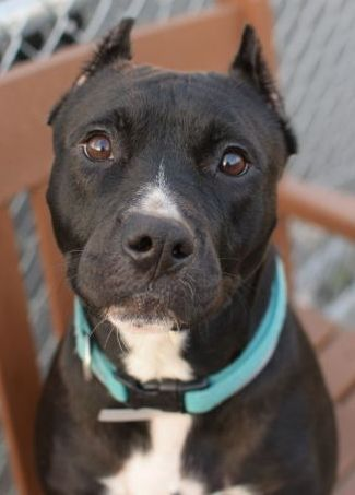 SAFE 11-5-2015 by Amsterdog Animal Rescue --- Brooklyn Center EBONY – A1055912 FEMALE, BLACK / WHITE, PIT BULL MIX, 2 yrs STRAY – STRAY WAIT, NO HOLD Reason STRAY Intake condition UNSPECIFIE Intake Date 10/24/2015 http://nycdogs.urgentpodr.org/ebony-a1055912/