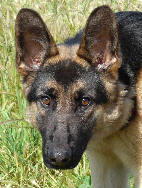 Loyal German Shepherd Friends Westside German Shepherd Rescue Of