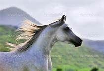 grey arabian horse - Bing Images