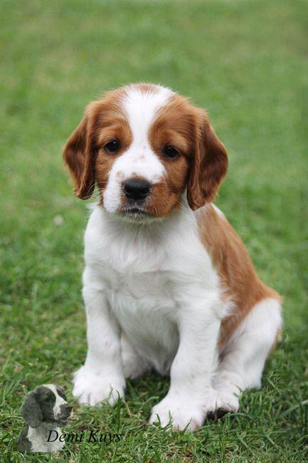 Welsh Springer Puppy