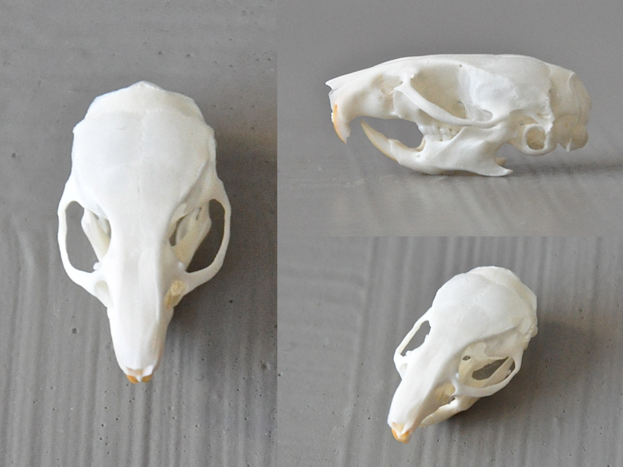 Mouse skull anatomy