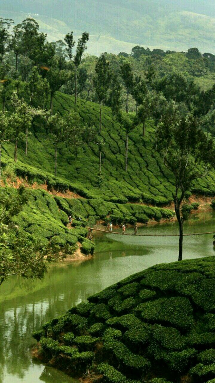 Tea plants, Munnar India Tourist places, Kerala travel