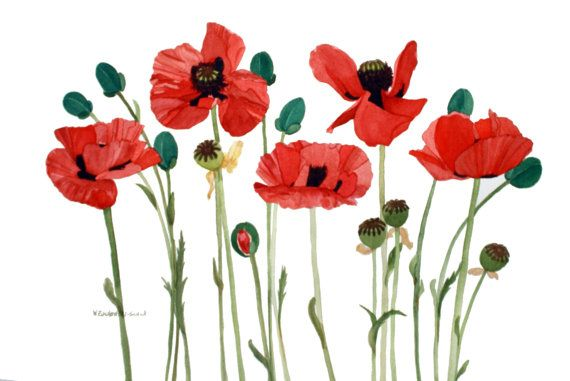 Surtido Floral Tarjetas Reproducciones De Acuarelas De 5 X 7 Poppies Red Poppies Poppy Field