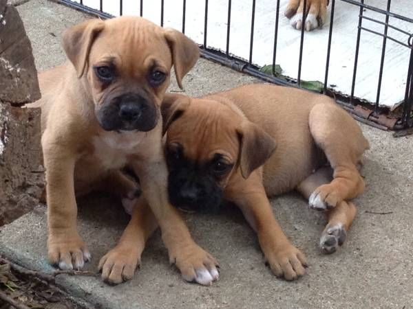 Boxer puppies Boxer puppies, Boxer, Puppies