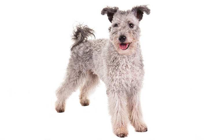 Pumi Dog Breed Information Pumi dog, Dog breeds, Akc breeds