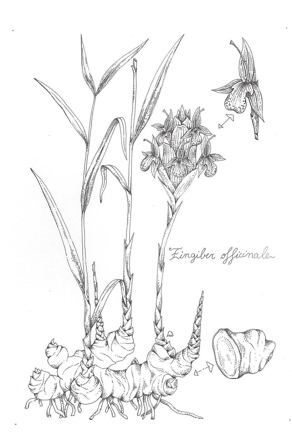 Ginger Plant Sketches Ginger Plant Illustration