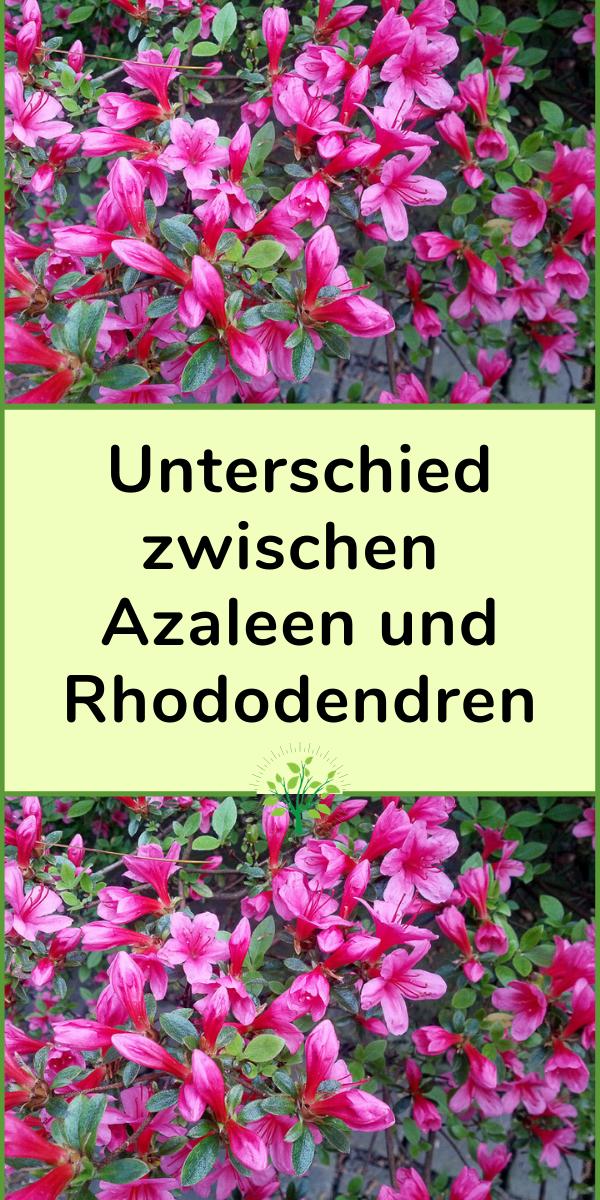 Unterschied Zwischen Azaleen Und Rhododendren Plants