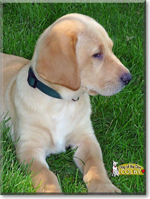 Read Colby S Story The Yellow Labrador Retriever From Grosse
