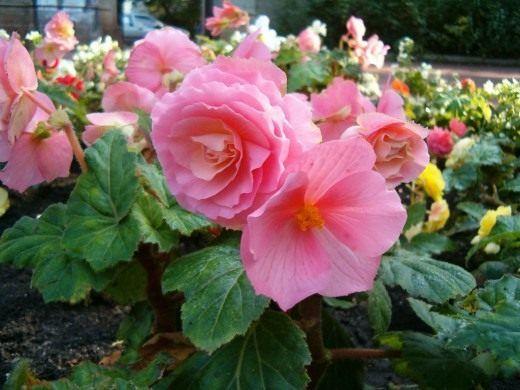 Декоративно-цветущие клубневые бегонии   Цветочные горшки ...