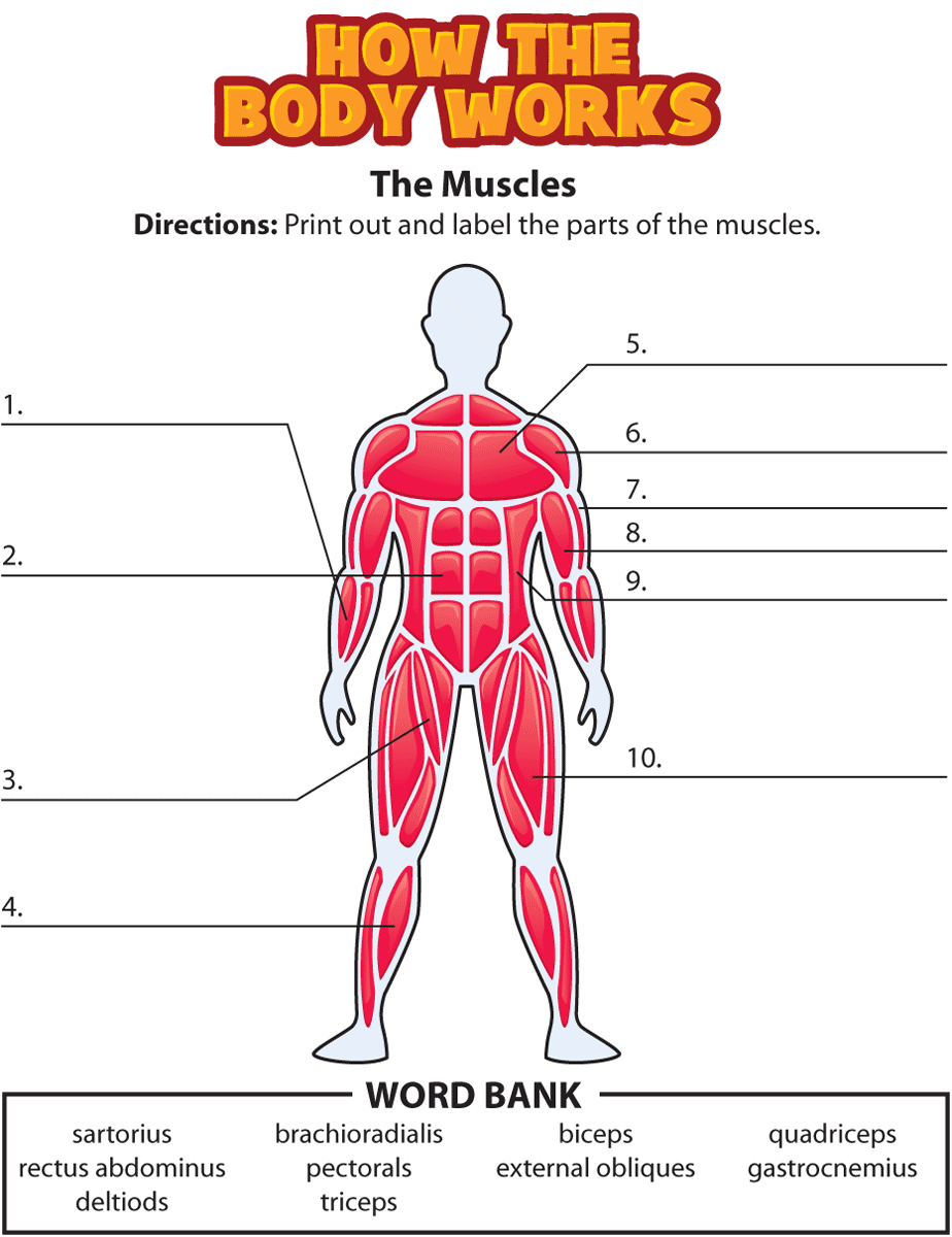 free matching pages worksheets for human body systems | human body, Muscles