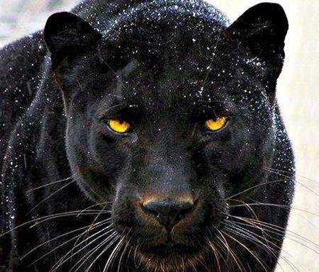 Black Panther Cats, Animals, Panther, Black Black