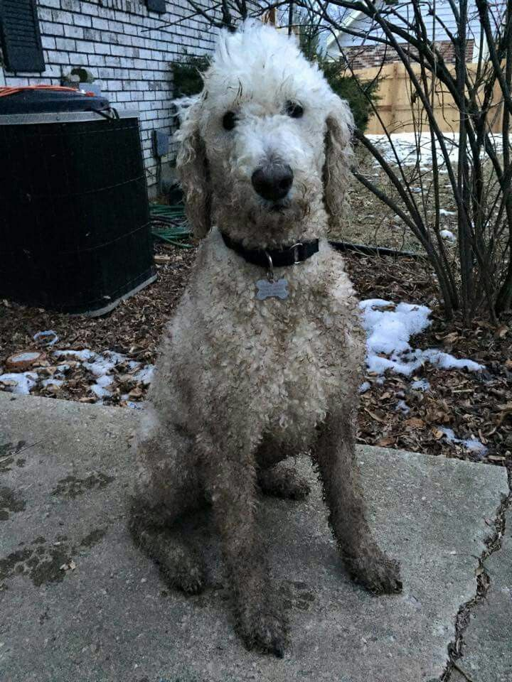 dirty poodle!