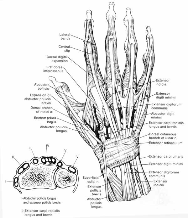 mymedspace: Dorsal anatomy of the hand | OT | Pinterest | Anatomy ...