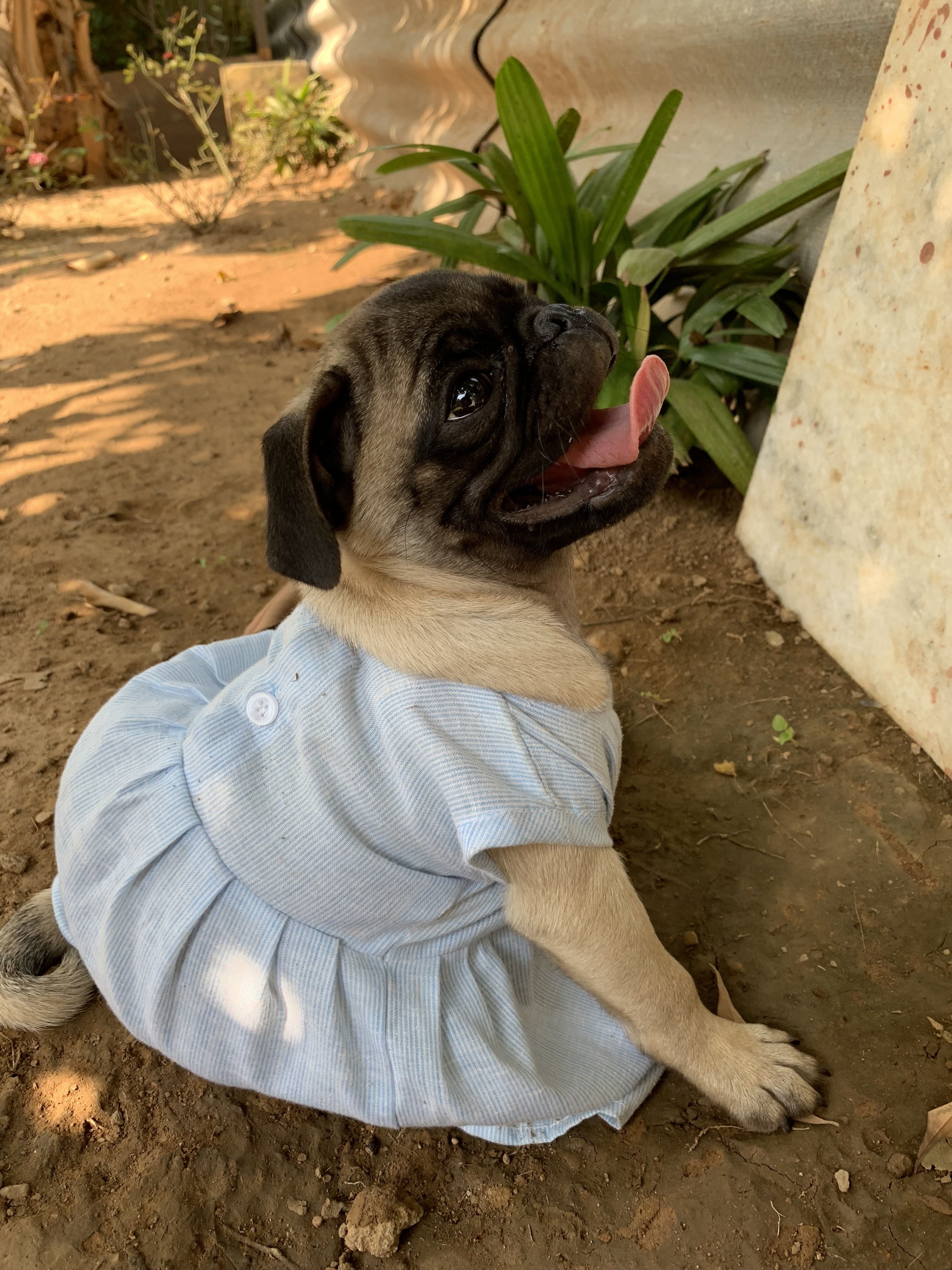 My Little Coco In Girl Dress Pugs Puglife Dogs Doglove