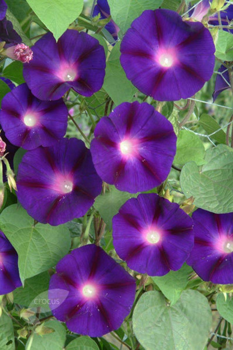 Aip Grandpa Ott Morning Glory Seeds Lovely Heirloom In 2020 Morning Glory Seeds Morning Glory Plant Flower Seeds