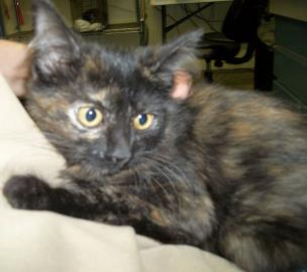 Towanda is an active kitten, looking for an active home. She would fit in with any kind of family. For more information about these animals or other animals available for adoption, please contact the Humane Society of the Black Hills at (605) 394-4132. #Cute #Cat #Adoption #SouthDakota #HumaneSociety