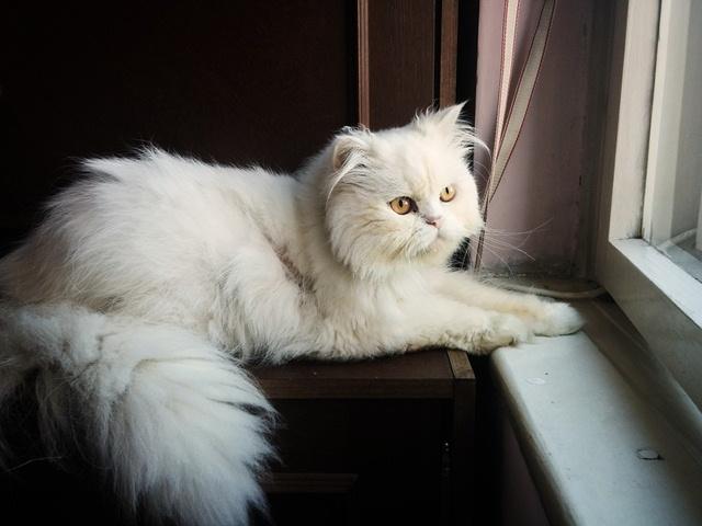 ข อม ลการเล ยงด แมวเปอร เซ ย ร ปภาพแมวเปอร เซ ยน าร กๆ 21 ภาพ White Cat Breeds Cat Breeds Angora Cats