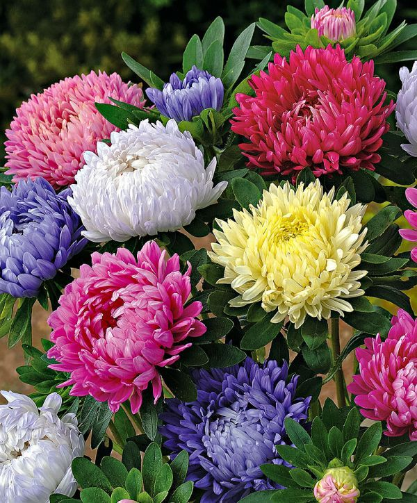 China Aster China Asters I Adore These Beautiful