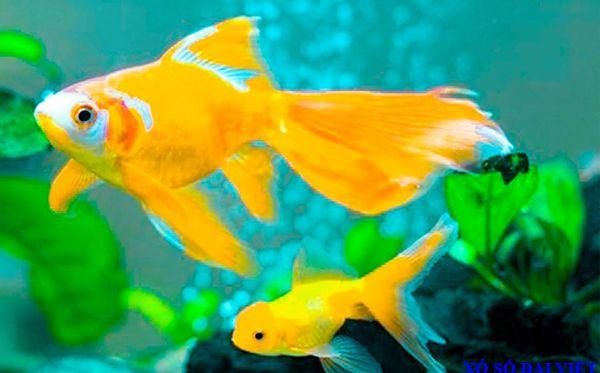 nằm mơ thấy cá vàng đánh con gì