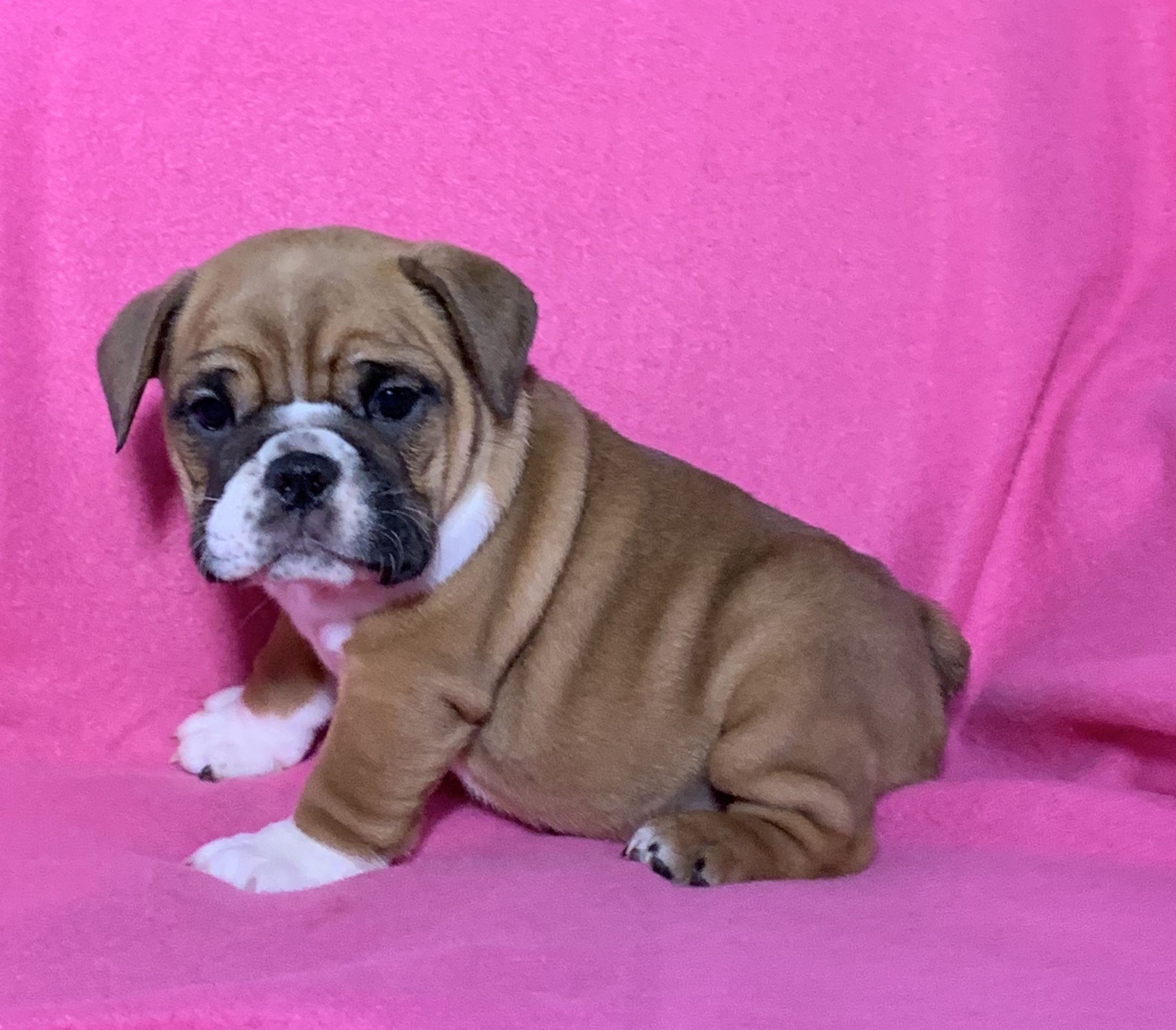 Sweet Beabull In 2020 Lancaster Puppies Cute Animals English Bulldog Puppy
