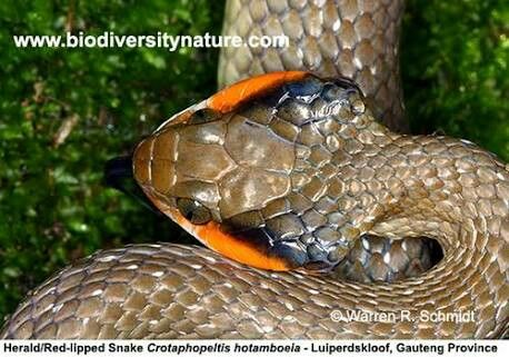 Crotaphopeltis hotamboeia - Red-Lipped Herald Snake