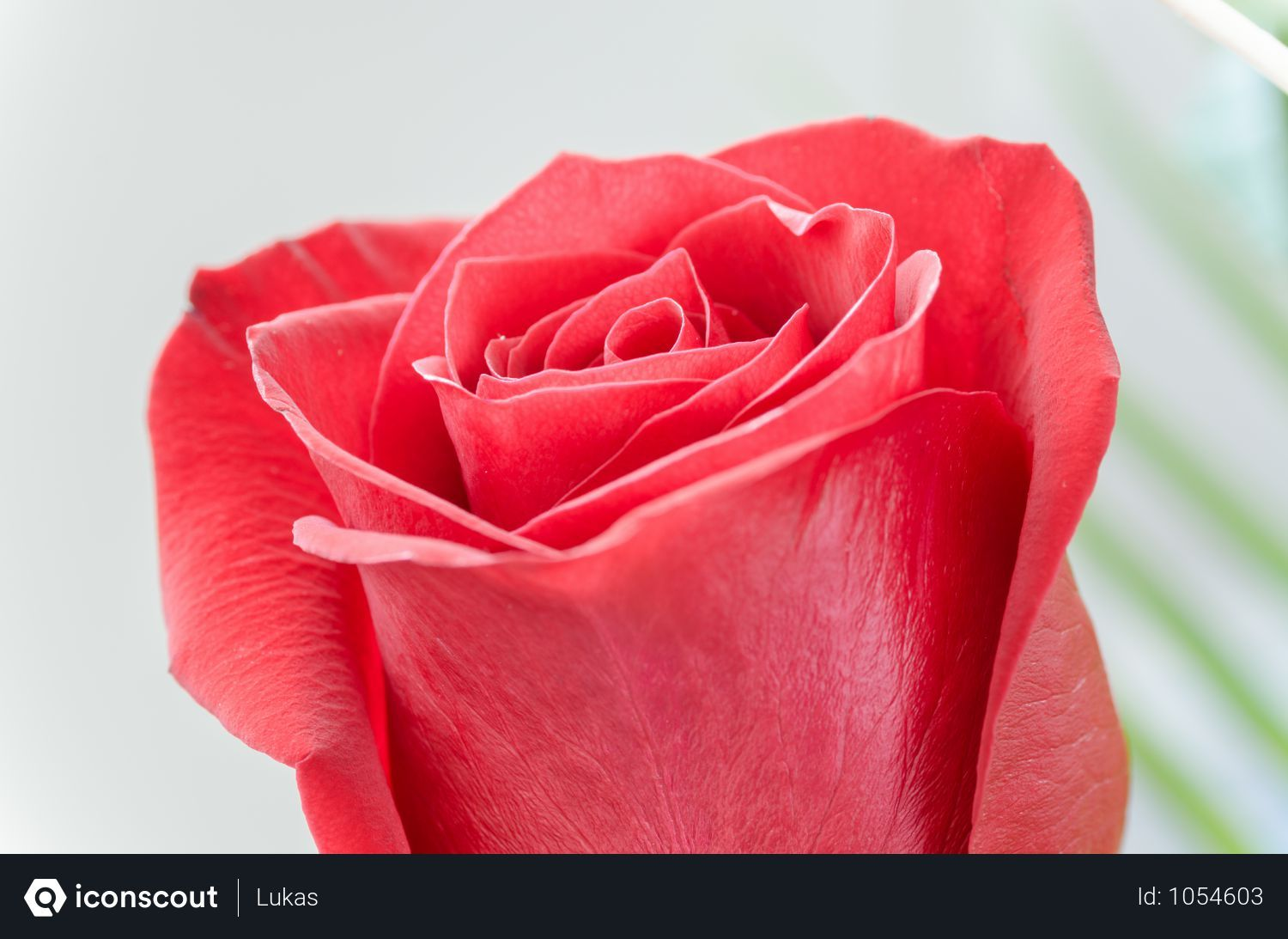 Free Red Rose Photo Download In Png Jpg Format Purple Flowers Wallpaper Rose Photos Rose Buds