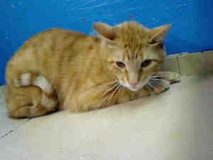 Lil Cat Is An Adoptable American Shorthair Cat In New York Ny Save A Life Adopt A Cat Cat Kitten Kitten Adoption Cat Adoption American Shorthair Cat