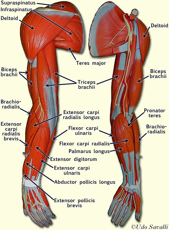 Muscle Model Diagram Arm Deltoid Teres Major Infraspinatus