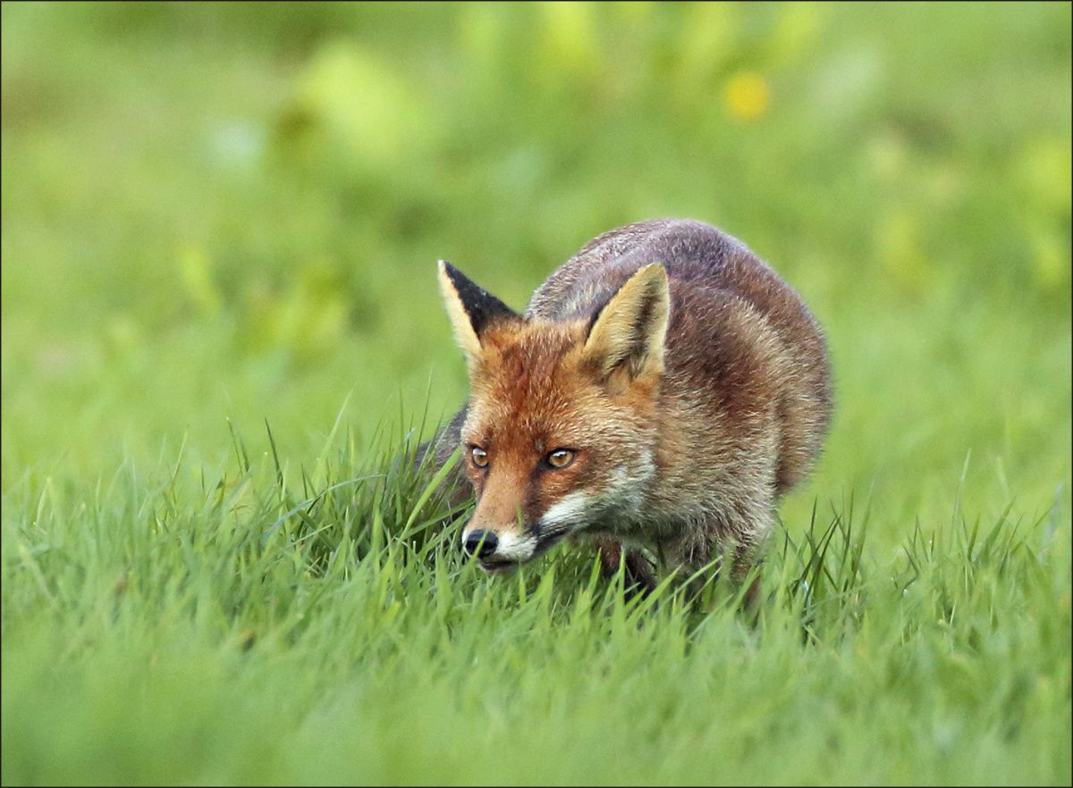 Red Fox by Vivienne Beck on 500px