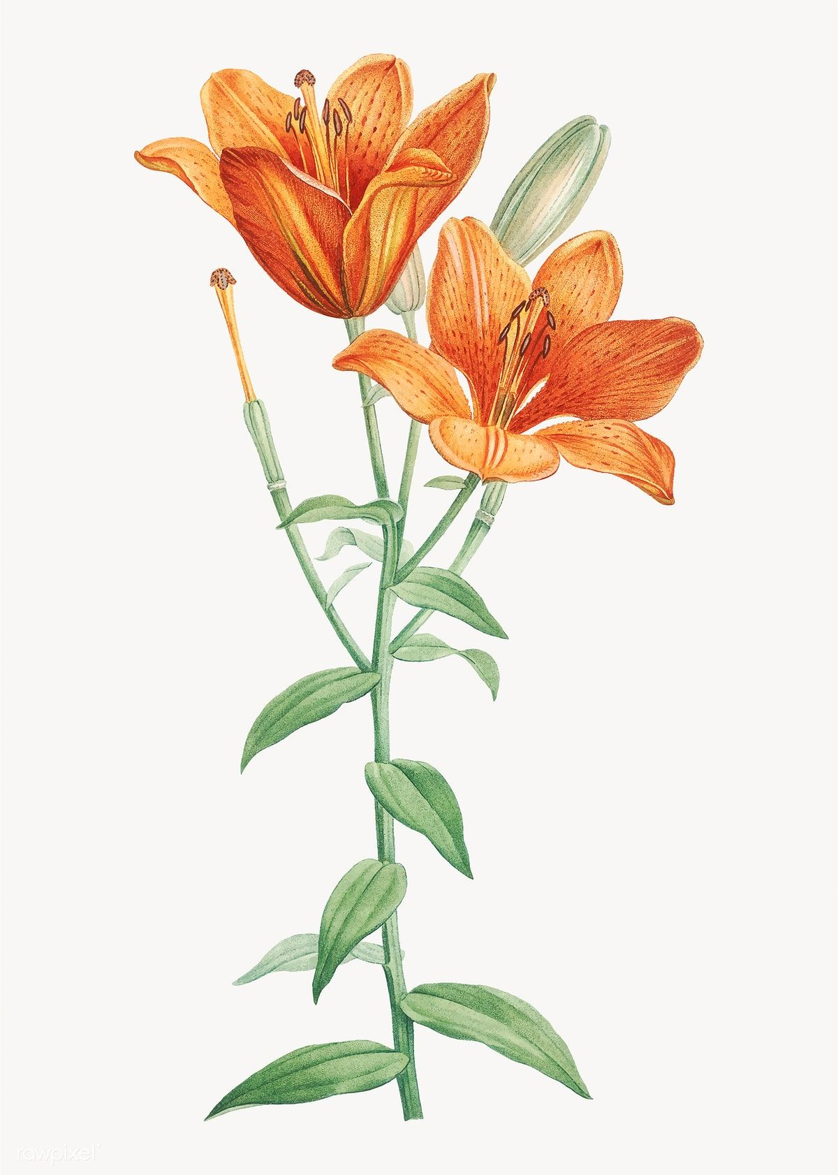 Vintage orange bulbous lily vector free image by