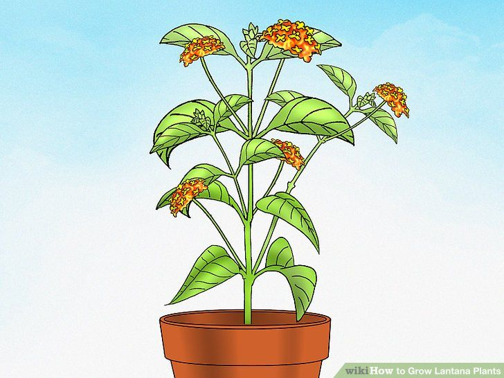 Grow Lantana Plants Lantana Plant Plants Front Yard Plants