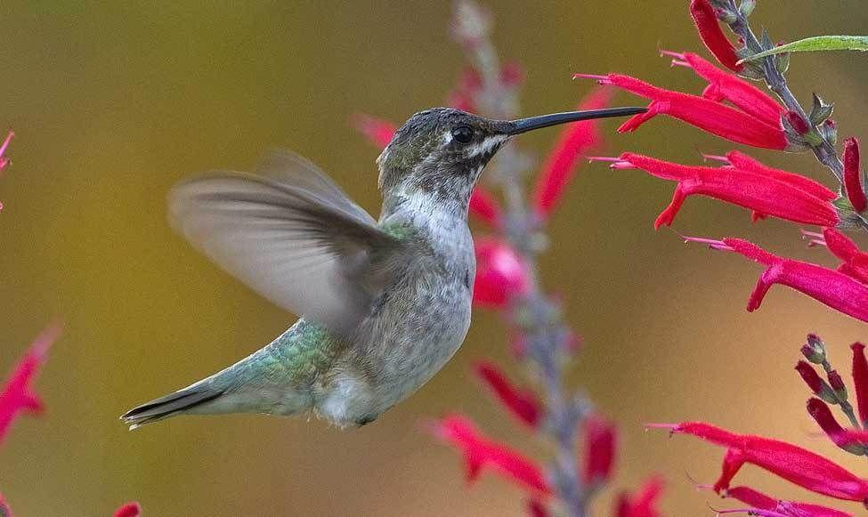 Related image Hummingbird, Bird species, Birds