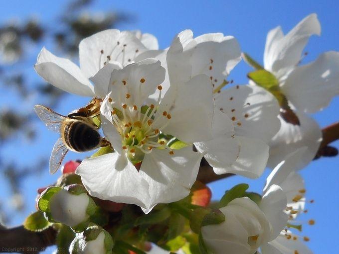 Bing Cherry Blossoms And A Honey Bee Cherry Blossom Bing Cherries Blossom