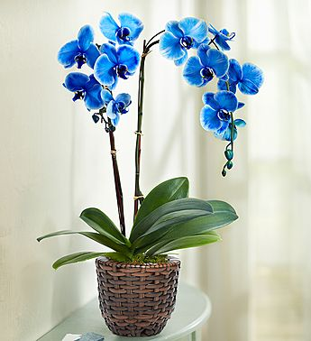 Beautiful Blue Phalaenopsis Orchid Orchids Painting Orchid Photography Blue Orchids Plant