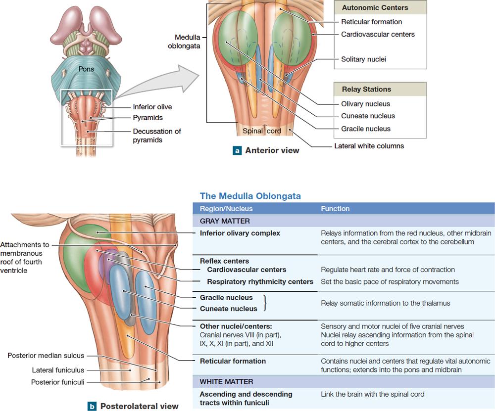 143 Brainstem The Medulla Oblongata Relays Signals Between The