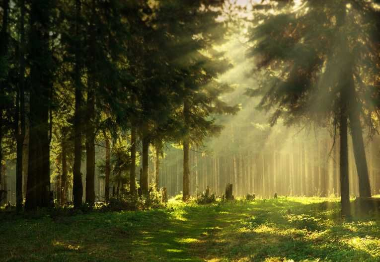 Sunshine forest types of pine trees