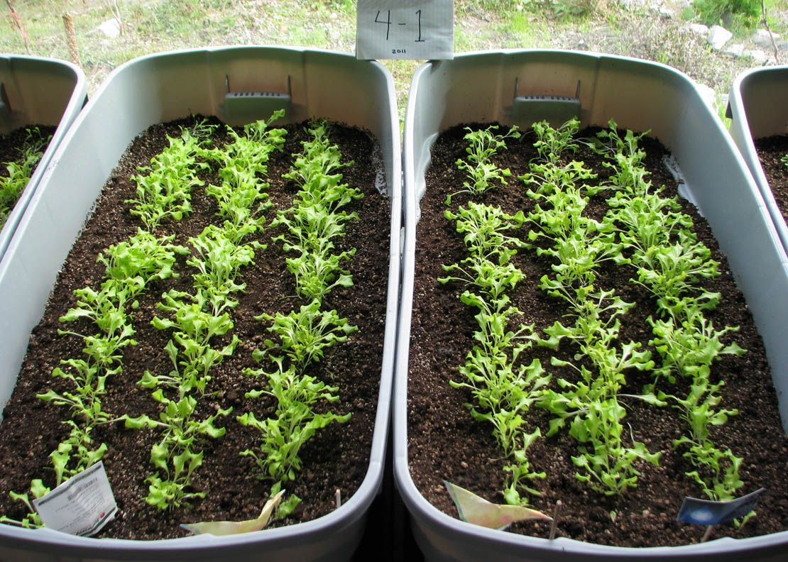 Using Rubbermaid Containers As Indoor Vegetable Planters