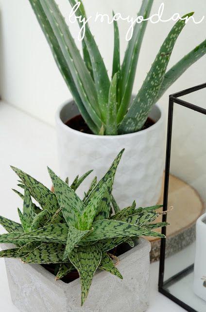 Zimmerpflanzen Sukkulenten sukkulenten kalanchoe und aloe vera zimmerpflanzen sukkulenten