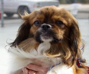 Gizmo Is An Adoptable Pekingese Dog In Dayton Oh Gizmo Is About 1 1 2 Years Old And Weighs Approx Pekingese Dogs Pekingese Australian Cattle Dog Blue Heeler