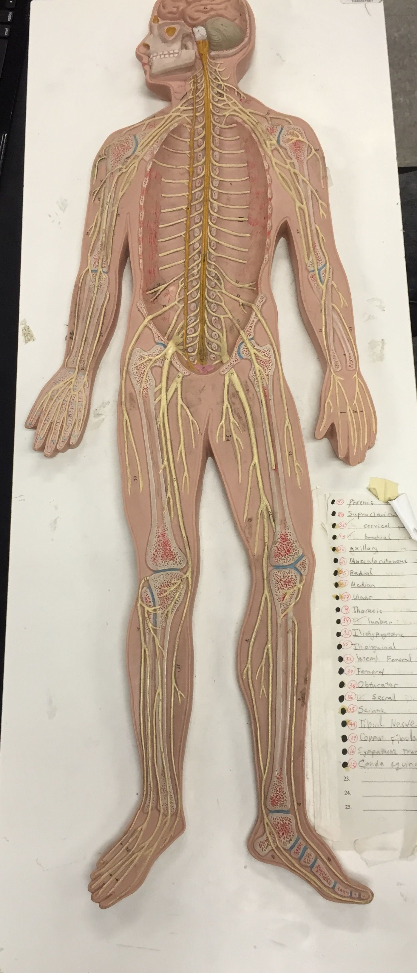 spinal nerves model from LACC | Anatomy/Physiology | Pinterest ...